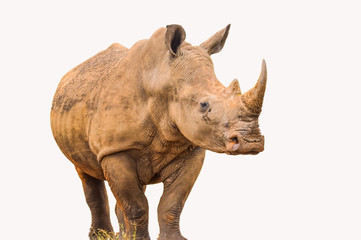 Portrait of a large white Rhinoceros or Rhino isolated on white taken in Kruger park during safari
