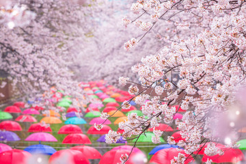 Wall Mural - Cherry blossom in spring in Korea is the popular cherry blossom viewing spot, jinhae South Korea.