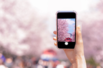 Wall Mural - Spring cherry blossom flower for background or copy space for text for greeting card or invitation for wedding and engagement. Hand holding smartphone taking photo Pink flowers on screen.