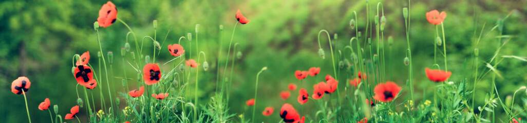 Blooming red poppies in field in spring in nature on green grass floral background with soft focus. Photo with toning. Bright color art image. Wide panorama format for frame or banner