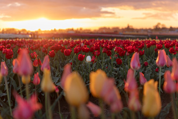 Keuken foto achterwand Tulp A single white tulip in a field of red tulips at sunset