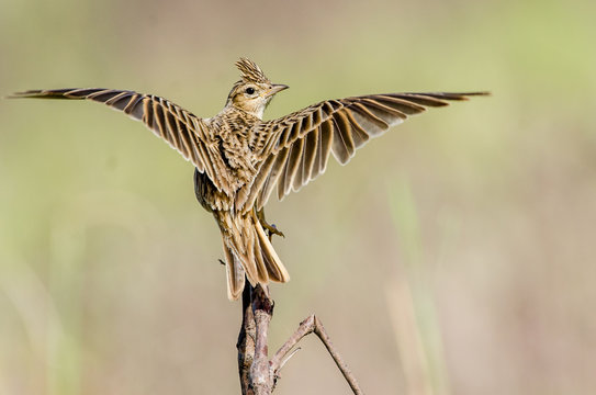 The Crested Lark perch on a branch with open wings.