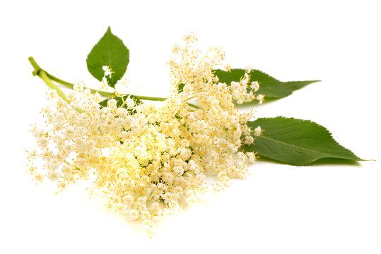 Elderberry flower (Sambucus nigra) isolated on white background.