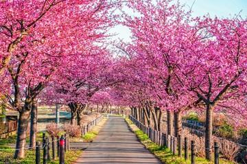 Photo sur Plexiglas Rose banbon 早春の桜並木