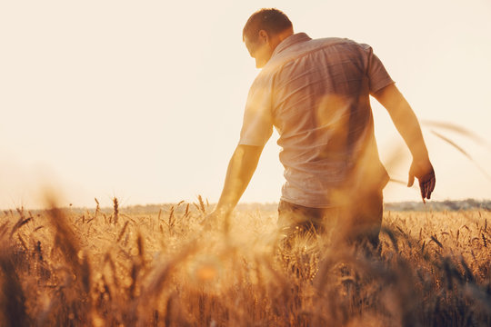 Man walking in wheat during sunset and touching harvest.