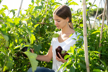 Fototapete - Female gardener during harvesting of eggplants  in  sunny garden