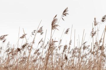 Dry coastal reed in winter under overcast gray sky Fotobehang
