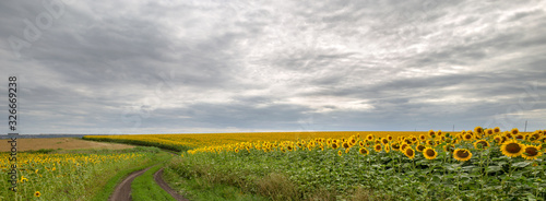 Fototapete The country road through the yellow sunflower's field. Summer landscape: beautiful field yellow sunflowers. Panoramic banner.