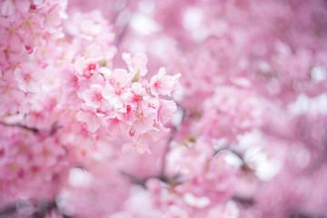 Wall Murals Spring closeup sakura flower background
