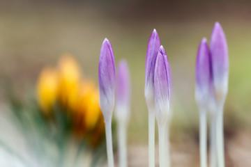 Poster Crocuses Wiosenne krokusy, ogród i pierwsze kwiaty