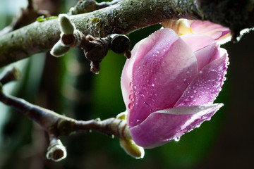 Foto op Canvas Magnolia Wet blooming fresh magnolia close up. Spring flower macro abstract