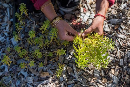 Harvesting Lemon Verbena on rooftop farm