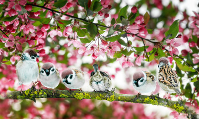Wall Mural - natural background with many birds sitting on a branch in a blooming may garden on the pink Apple tree
