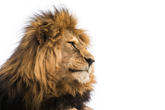 Isolated lion on white. Wild african lion looking forward