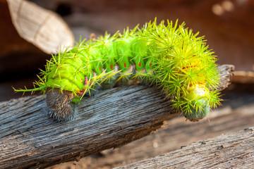 riesige giftige Raupe mit langen Stacheln aus dem Regenwald in Südamerika Bolivien