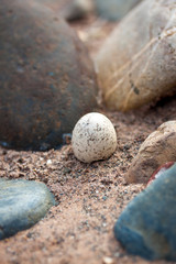 Eier eines Falken in einem Nest versteckt im Sand