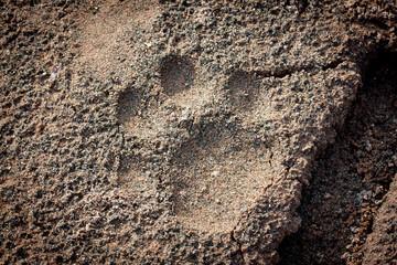 Spur eines Jaguars im Sand in Südamerika Bolivien