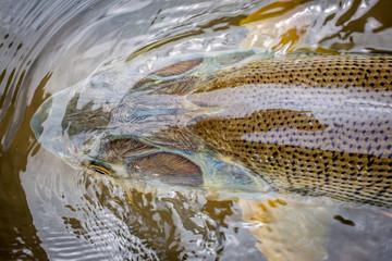 Kopf einer golden Dorado / Dorade im Wasser aus Bolivien