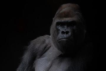 Fotorolgordijn Aap Portrait of a male gorilla in the dark with black background