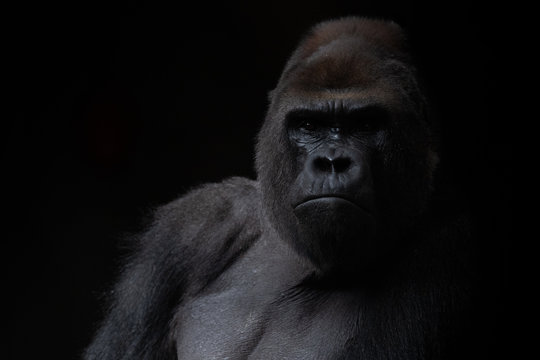 Portrait of a male gorilla in the dark with black background
