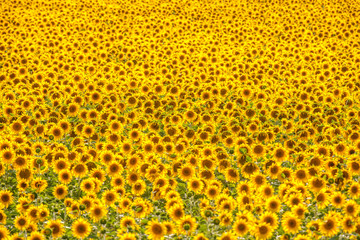 Photo sur Plexiglas Tournesol sunflower field..