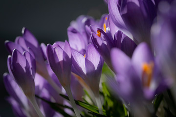 Door stickers Crocuses Blauer Krokus
