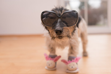Little crazy easter dog wears black sunglasses. Cool rough-haired Jack Russell Terrier doggy