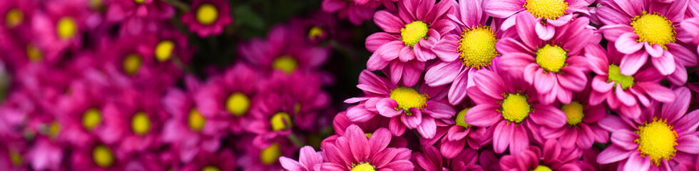 Purple pink and yellow flowers daisies banner or panorama. Bouquets of blossom rainbow Chrysanthemum floral top view. Violet daisy flower background.