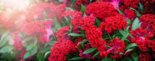 Foto auf Leinwand Rot kubanischen Celosia cristata red twisted flowers background. Blossom floral photo.