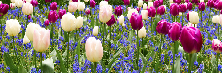 Beautiful spring flowers colorful garden backround. Group of viloet and white tulips in the park wide banner or panorama.