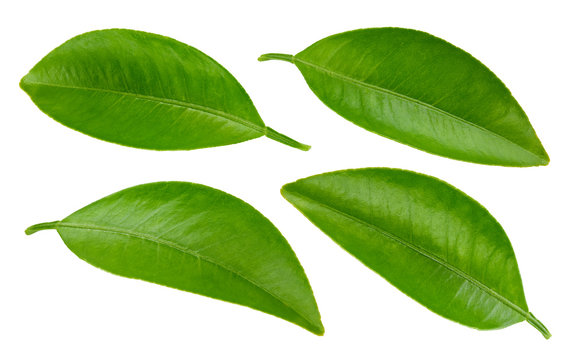 Green leaf collection isolated on white background. Leaf citrus clipping path. Orange leaf macro studio photo