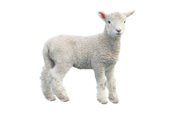 Deurstickers Schapen Cut out of young sheep isolated on white background looking at camera. No people. Copy space