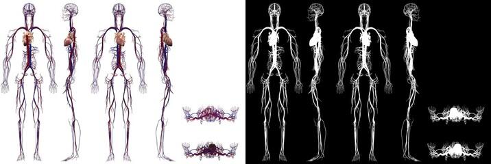Human Anatomy Male Circulatory System