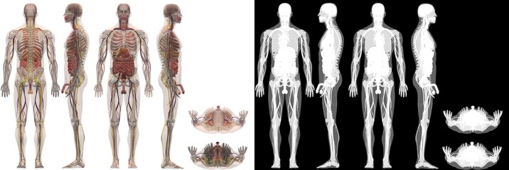 Human Anatomy Male Body