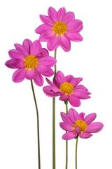 Poster Dahlia dahlia flower isolated