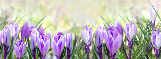 Photo sur Plexiglas Crocus beautiful flowers of crocus blooming in panoramic view