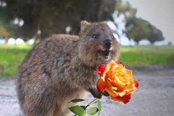 Photo sur Toile Kangaroo Smiling quokka with rose. Quokkas are friendly small Australian kangaroos