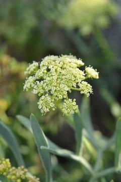 Sea fennel flowers