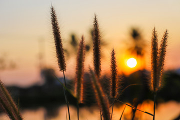 Natural Pennisetum or hairy fountain grass with defocused blur background of sunset sky