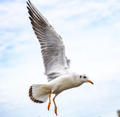 Fotorollo Vogel seagull in flight