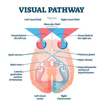 Visual pathway medical vector illustration diagram
