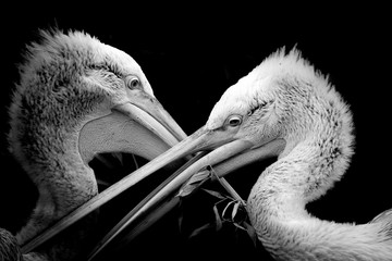 Fototapete - Black and white portrait pelican