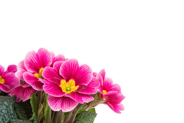 Fototapeten Blumen Purple primrose flowers isolated on white background with copy space