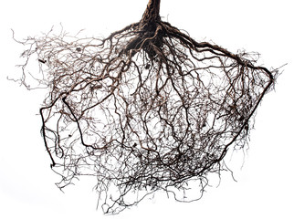 tree roots isolated on white background