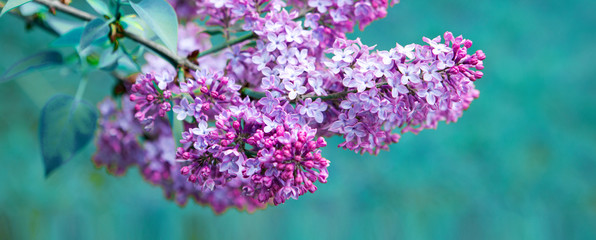 Fotorollo Flieder Branch with spring lilac flowers. Nature background.