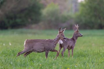 Zelfklevend Fotobehang Ree Male and female European roe deer in the meadow. The European roe deer (Capreolus capreolus), also known as the western roe deer, chevreuil, or simply roe deer or roe, is a species of deer.