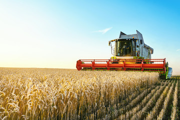 Combine harvester harvests ripe wheat. Ripe ears of gold field on the sunset cloudy orange sky background. . Concept of a rich harvest. Agriculture image