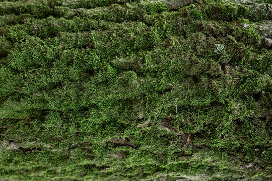 Green moss on tree trunk background with copy space. Closeup flat view of forest foliage. Nature plant pattern decoration