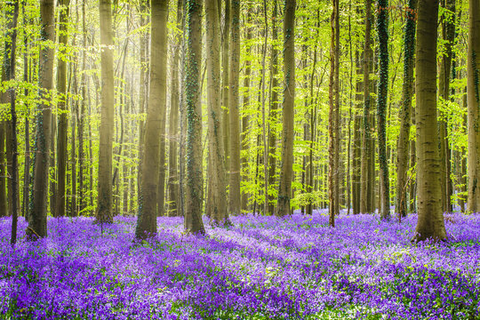 Halle forest during springtime, with bluebells carpet. Halle, Bruxelles district, Belgium