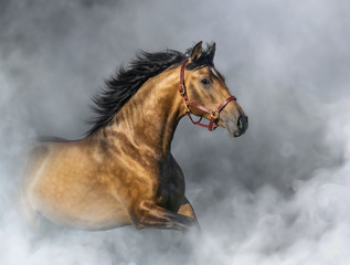 Fototapete - Purebred Spanish Horse in halter in light smoke.